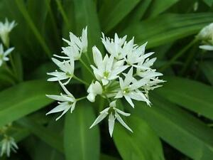 Allium Ursinum Wild Garlic 10 Seeds Vegetable Herb Garden Flower