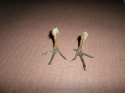 FRENCH PARTRIDGE  FEET IN STANDING POSITION -  WEIRD GOTH TAXIDERMY RED LEG
