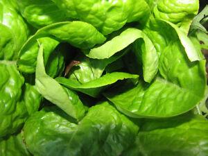 3-000-Buttercrunch-Lettuce-Seeds-Butter-Crunch-Seed