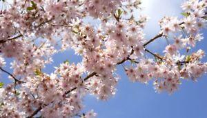 5 x wild cherry tree seeds, cerisier des oiseaux (prunus avium) tree seeds.  </span>