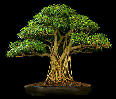 Ficus Religiosa Bodhi Tree Peepal Tree 25 Fresh Seeds Perfect As A Bonsai Ebay