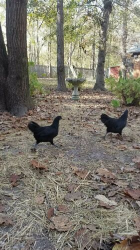1 Pure Swedish Black Hen Fertile Hatching Egg Rare Exotic Breed Unique Chicken