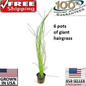6 pots of giant hairgrass plants easy aquarium aquascaping planted