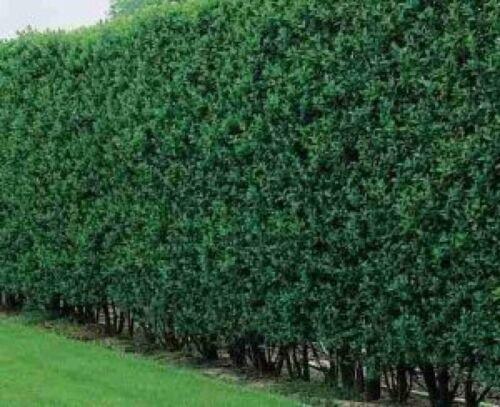Heckenpflanzen Wurzelware 40-60 cm hoch Liguster 4-5 Triebe