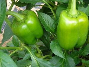200-Sweet-Bell-Pepper-Seeds-California-Wonder-NON-GMO-Heirloom-Gardening