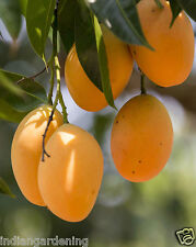 Live Alphonso Mango Plant 2 feet+ 2 Plants