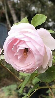 Live Rose Plants See List Curly