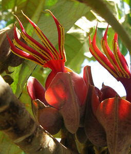 Extremely-Rare-Chiranthodendron-Pentadactylon-Devil-039-s-Hand-Tree-1-Seed-Limited