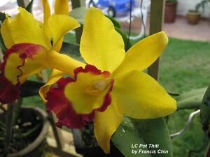 Rare-orchid-hybrid-seedling-Potinara-thiti