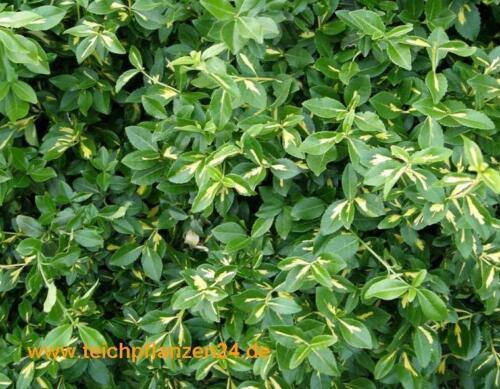 30 boutures Broche arbuste kriechspindel euonymus