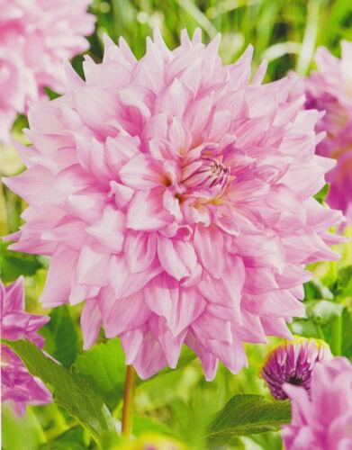 1 oder 3 Schmuck Dahlien Großblütig Almand´s Joy  Knolle Blumenzwiebeln Dahlie