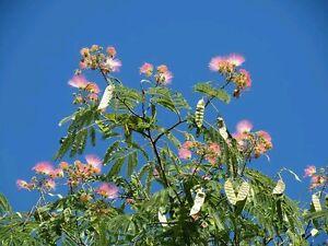 20-graines-d-albizia-arbre-a-soie-mimosa-de-Constantinople