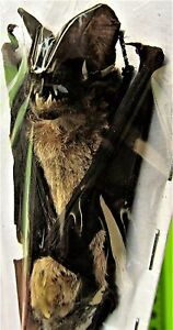 Java Mastiff Bat Otomops formosus Hanging Taxidermy FAST FROM USA | eBay