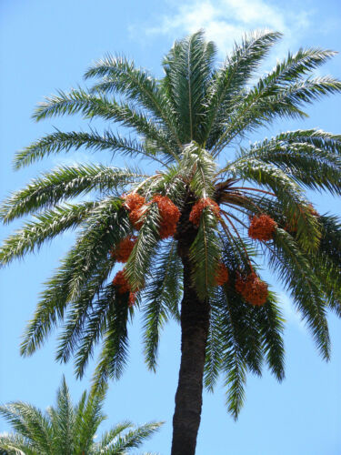 ~SILVER DATE~ Palm Phoenix sylvestris COLD HARDY PALM 12-24+inch 5 LG SEEDLINGS