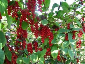 Chinese-Magnolia-Schisandra-chinensis-Vine-Seeds-Fast-Edible-Hardy-Showy