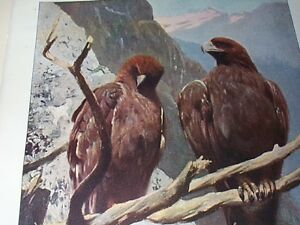 BIRD-GOLDEN-EAGLE-ANTIQUE-PRINT-CHRISTMAS-COLOUR-PLATE-1916-7-LYDEKKER-KUHNERT