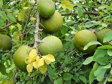 Fruit Seed WOOD APPLE - Sweet Aromatic Large Fruit-Vilvam/Maredu/Beal - 25 Seeds