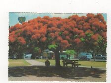Poinciana Tree Australia Postcard 777a