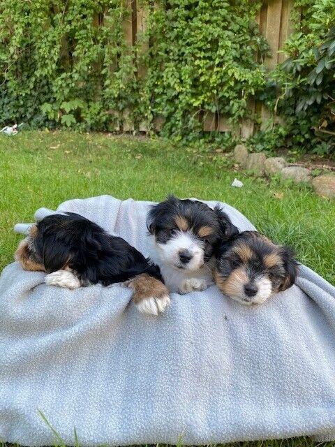 Biewer Terrier, hvalpe, 8 uger