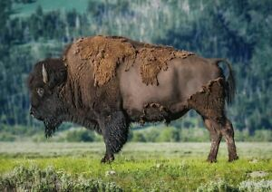 A1-Bison-Yak-Animal-Wildlife-Wall-Poster-Art-Print-60-x-90cm-180gsm-Gift-15562