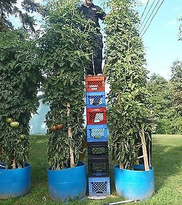 Tomato SEEDS Giant Italian Tree  25 - 30 Ft. (8 - 9 M) . THIS IS THE TALLEST ONE