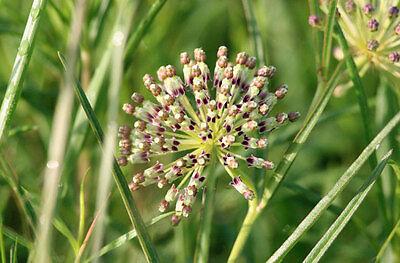 Asclepias verticillata Whorled Milkweed Quart Plant