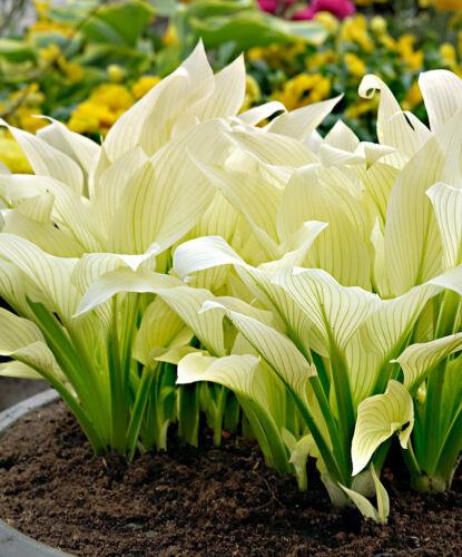 50Pc Seeds Hosta plantaginea Ornamental Grass Beautiful Home Garden Decor Ideas