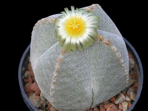 Astrophytum Myriostigma subs Quadricostatum Cactus Succulent Cacti Seeds