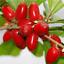 20Pcs-Synsepalum-Fruit-Seeds-Rare-Kind-Tasty-Bonsai-Garden-Organic-Eat thumbnail 2