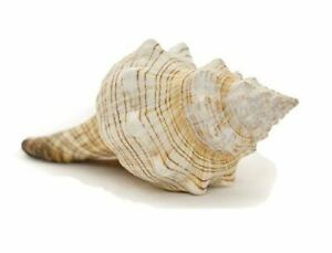 Colector-Shell-1-Rayas-Fox-Concha-Sea-Shell-6-034-7-034-Pantalla-Y-Decoracion