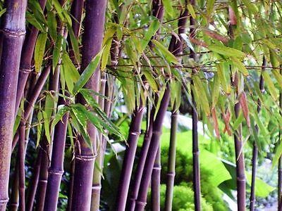 Rare Purple Bamboo Timor Bambusa Lako 50 Viable Seeds Fresh