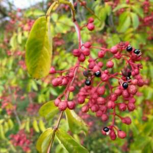 100 Chinese Prickly Ash Sichuan Pepper Vegetable Seed Zanthoxylum Simulans Plant