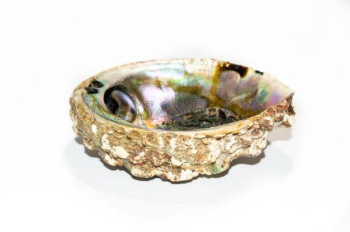 """Pink Abalone Sea Shell One Side Polished Beach Craft 4/"""" #JC-11 16 pcs 5/"""""""