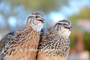 30 Coturnix Quail Hatching Eggs Assorted Rare Colors **FREE SHIPPING!**