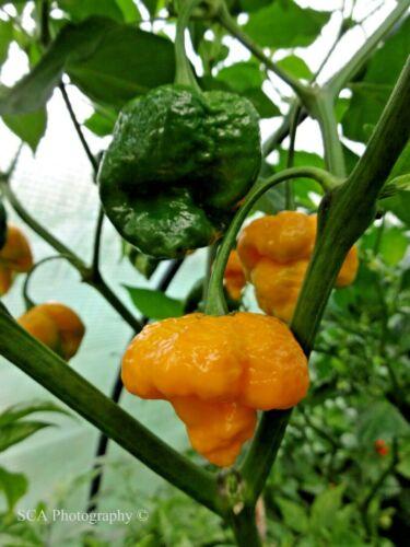 7 Pot Douglah jaune Chilli Pepper Seeds
