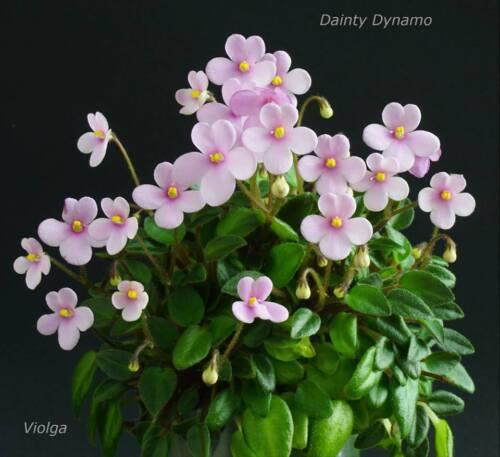 Dainty Dynamo 3 Blätter//3 leaves African Violet Usambaraveilchen