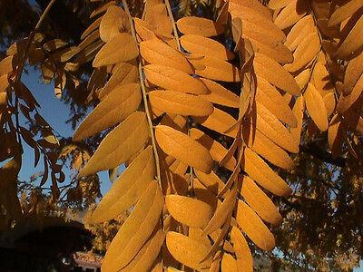 THORNLESS HONEYLOCUST Gleditsia Triacanthos Inermis 5,10,20 SEEDS
