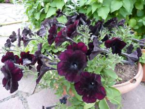 Petunia-multiflora-nana-Velvet-Rose-F1-Flower-Seeds-from-Ukraine