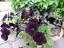 Petunia-multiflora-nana-Velvet-Rose-F1-Flower-Seeds-from-Ukraine thumbnail 1