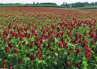 Seedranch Crimson Clover Seed : Nitro-coated & Inoculated - 2 Lbs.