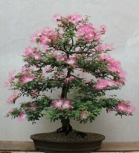 Persian silk tree seeds albizia julibrissin flowering tree bonsai 25 image is loading persian silk tree seeds albizia julibrissin flowering tree mightylinksfo