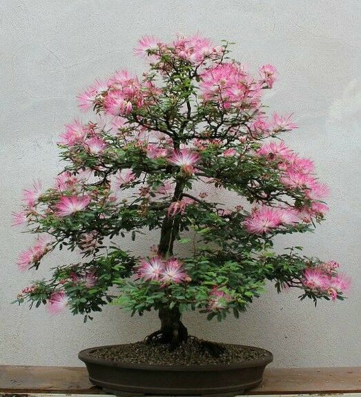 Albizia Julibrissin Bonsai Seeds Rare Persian Pink Blossom Flowers Silk Tree For Sale Online Ebay