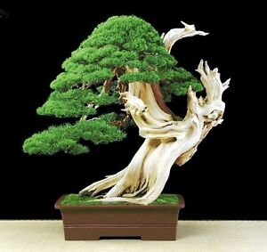 Bristlecone Pine Pinus Aristata 10 Seeds Oldest Living Tree In The World Ebay