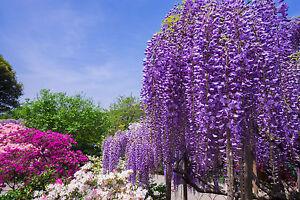 exotisch-Garten-Pflanze-Samen-winterhart-Saemereien-Exot-BLAUREGEN-Rankpflanze