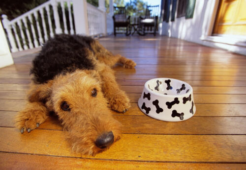 Art print POSTER CANVAS Dog Airedale Terrier Lying by Food Dish