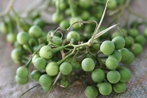 15-graines-d-039-AUBERGINE-POIS-THAI-Solanum-Torvum-H802-THAI-PEA-EGGPLANT-SEEDS