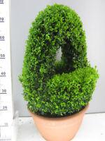 Buchsbaum Korb , Buxus Sempervirens, Höhe: 70-80 Cm, Bonsai, Formpflanze