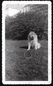 vintage photograph 1949 hairy furry old english sheepdog? puppy