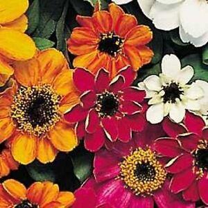 Nouveau-50-Zinnia-Profusion-Melange-30-5cm-Nain-Semences-Florales-Maladie