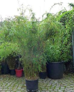 Bambus Hecke bambus jiuzhaigou 160 cm 190 cm roter fargesia spez 1